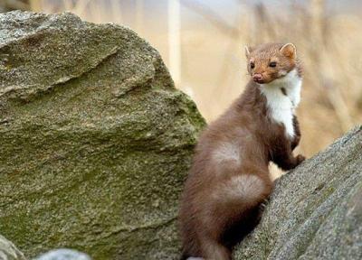 گونه کمیاب سمور سنگی در پارک ملی قمیشلو دیده شد