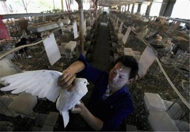 12 مورد مرگ در اثر ابتلا به ویروس آنفولانزای مرغی در شرق چین