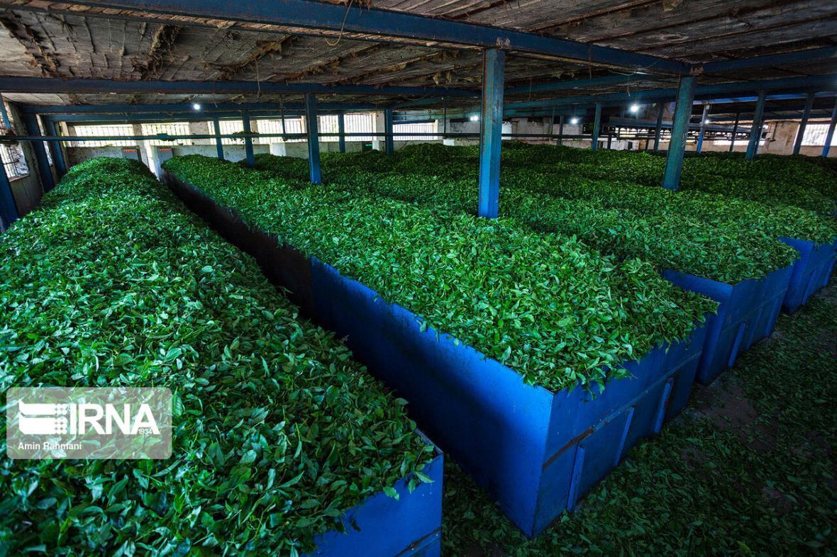 خبرنگاران صادرات چای ایرانی به 12 کشور دنیا
