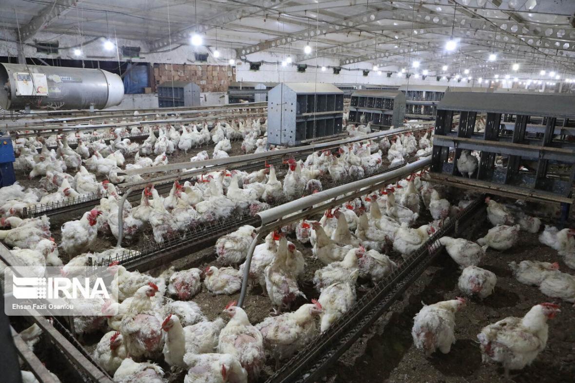 خبرنگاران بیش از 90 درصد مرغداری های گوشتی قزوین نهاده دولتی دریافت کرده اند