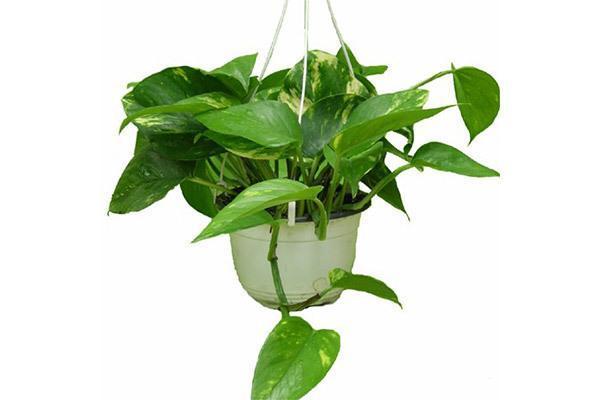 گیاهان آویزی و نحوه نگهداری آنها در آپارتمان