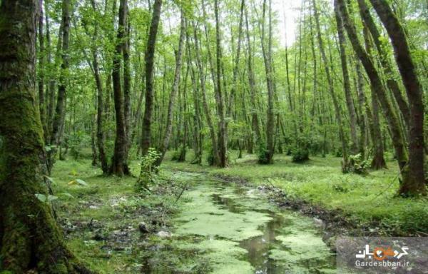 جنگل گیسوم؛قطعه ای از بهشت در تالش ، عکس