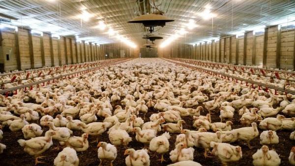 نگهداری مرغ بیش از 50 روز در مرغداری ها ممنوع