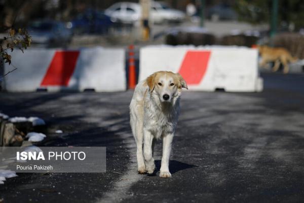 جولان سگ های ولگرد در خیابان های مهریز